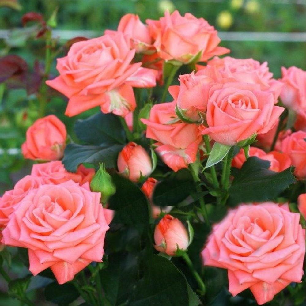 Выращивание розы спрей 15